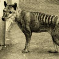 Thylacine492